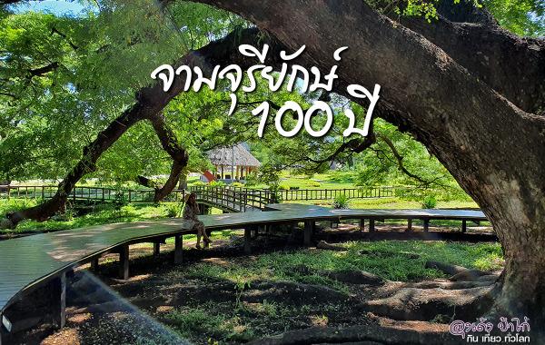 จามจุรียักษ์ 100 ปี unseen กาญจนบุรี
